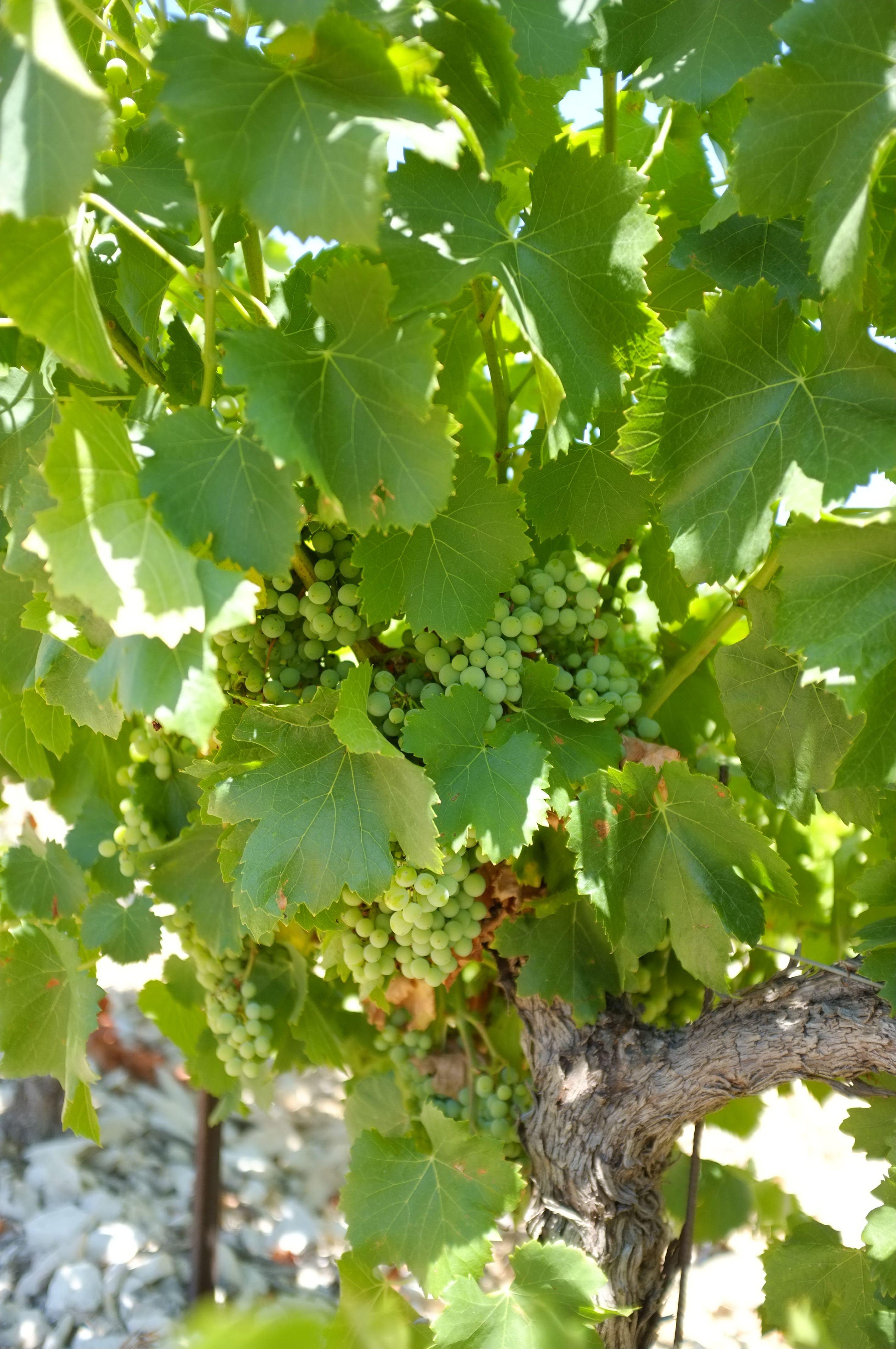 Grappe raisins Tavel